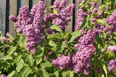 Ramifique com as flores do lilac da mola Fotografia de Stock