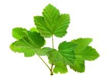Ramifique com as folhas da passa de Corinto Fotos de Stock