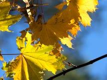 Ramifique com as folhas de bordo da luz solar do amarelo do outono imagens de stock