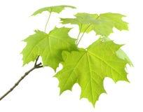 Ramifique com as folhas frescas do bordo. Imagem de Stock Royalty Free