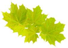 Ramifique com as folhas novas do bordo. Foto de Stock