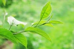 Ramifique com as folhas verdes novas fotos de stock