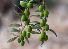Ramifique com azeitonas verdes Fotografia de Stock Royalty Free