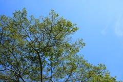 Ramifique com céu azul Imagens de Stock Royalty Free