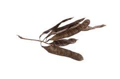 Ramifique com espinhos e sementes da árvore da acácia em um fundo branco Fotografia de Stock Royalty Free
