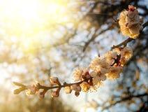 Ramifique com a flor do abricó na luz morna do por do sol Imagem de Stock Royalty Free