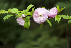 Ramifique com flor e as pétalas cor-de-rosa, folhas do verde Foto de Stock Royalty Free