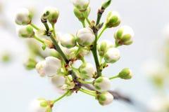 Ramifique com flores. imagens de stock