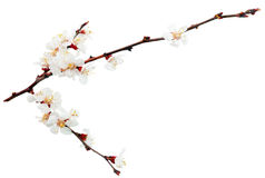 Ramifique com flores. fotos de stock