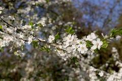 Ramifique com flores brancas fotografia de stock