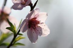 Ramifique com flores cor-de-rosa Imagens de Stock Royalty Free