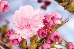 Ramifique com flores de cerejeira cor-de-rosa Imagem de Stock Royalty Free