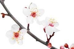 Ramifique com flores. Isolado no fundo branco. imagens de stock