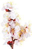 Ramifique com flores. Isolado no fundo branco. imagem de stock royalty free