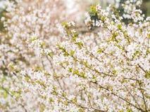 Ramifique com flores Sakura Imagem de Stock