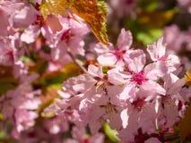 Ramifique com flores Sakura Fotografia de Stock