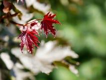 Ramifique com folhas de bordo novas em um fundo de um parque verde, dia, estação Imagem de Stock Royalty Free