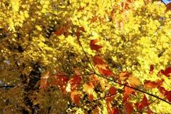 Ramifique com folhas de outono fotos de stock royalty free