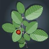 Ramifique com folhas e joaninha Fotos de Stock
