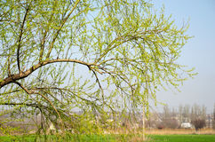 Ramifique com folhas novas em um fundo de uma exploração agrícola Imagem de Stock Royalty Free