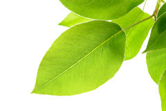 Ramifique com folhas verdes Foto de Stock Royalty Free