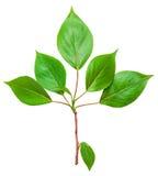 Ramifique com folhas verdes Fotos de Stock