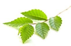 Ramifique com folhas verdes Imagem de Stock Royalty Free