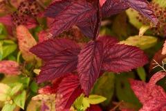 Ramifique com folhas vermelhas Imagem de Stock Royalty Free