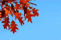 Ramifique com folhas vermelhas Céu ensolarado azul fotografia de stock royalty free