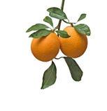 Ramifique com laranjas maduras Fotografia de Stock Royalty Free