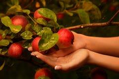 Ramifique com maçãs fotos de stock