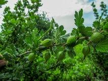Ramifique com muitas bagas da groselha verde fresca e nova Fotografia de Stock