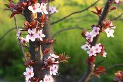 Ramifique com muitas flores brancas da mola Imagem de Stock