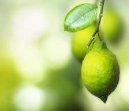 Ramifique com o limão de amadurecimento Fotografia de Stock