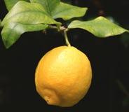 Ramifique com o limão fresco Fotos de Stock Royalty Free