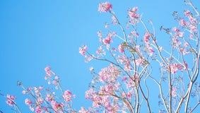 Ramifique com o tabebeuia da flor completa Foto de Stock