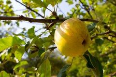 Ramifique com uma maçã Fotografia de Stock