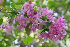Ramifique com vetor cor-de-rosa das flores Imagens de Stock