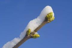 Ramifique con el brote bajo nieve y el cielo azul Imagen de archivo