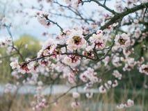 Ramifique con el brote fresco del primer de la flor del albaricoque-árbol en jardín Imágenes de archivo libres de regalías