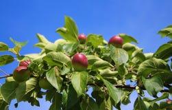 Ramifique con el cielo azul de las manzanas Foto de archivo libre de regalías