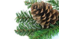 Ramifique con el cono del pino Fotos de archivo libres de regalías