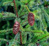 Ramifique con el cono del pino Foto de archivo libre de regalías