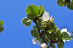 Ramifique con el flor de la manzana Fotos de archivo libres de regalías