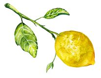 Ramifique con el limón Ilustración de la acuarela Imágenes de archivo libres de regalías
