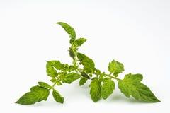 Ramifique con en florescence y las hojas del tomate vegetal de la cultura fotografía de archivo