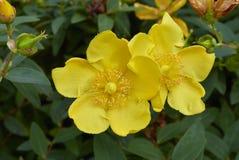 Ramifique con la flor amarilla del patulum del Hypericum imagenes de archivo