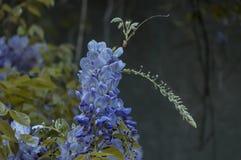 Ramifique con la floración del manojo y la hoja púrpuras del árbol de la glicinia en la primavera en el jardín, Sofía Fotografía de archivo