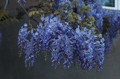 Ramifique con la floración del manojo y la hoja púrpuras del árbol de la glicinia en la primavera en el jardín, Sofía Imagenes de archivo