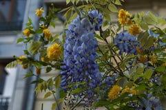 Ramifique con la floración del manojo y la hoja púrpuras del árbol de la glicinia y del japonica amarillo de Kerria en la primave Foto de archivo libre de regalías